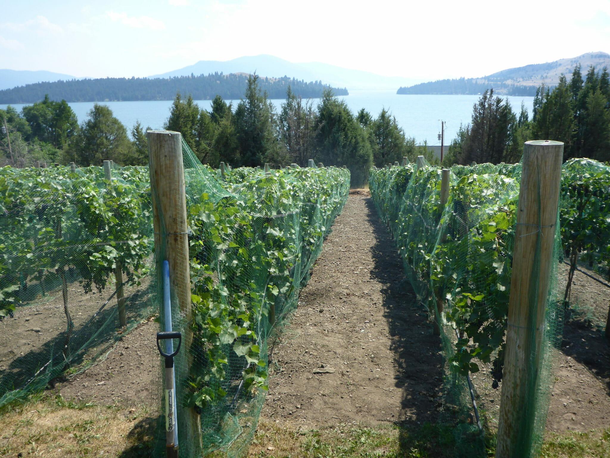 Montana Vineyard